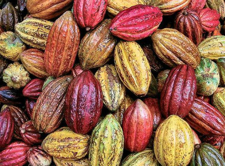 Cacao from Peru, freshly harvested cacao pods in all shapes and sizes.
