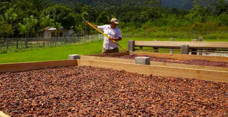 Peruvian cacao farmers hanling cacao beans drying in the sun.