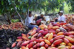 Peruvian cacao farmers busy with cacao harvest