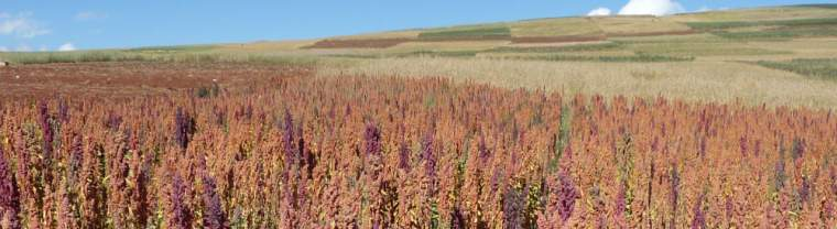 Peru leading exporter of Quinoa to Europe