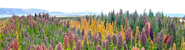 Puno Quinoa in trouble in 2016