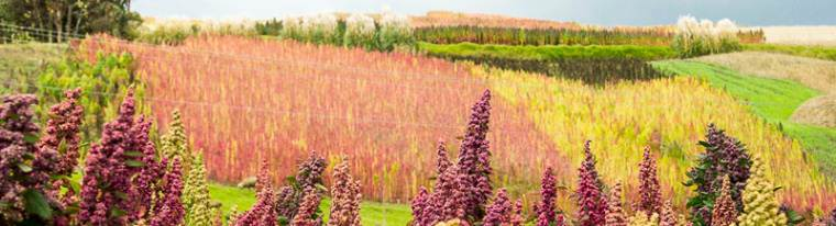 Peru largest exporter of Quinoa to the USA