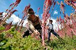 OrganicCrops farmers quinoa harvest by hand in Huanuco.